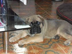 Zarko, chien Cane Corso