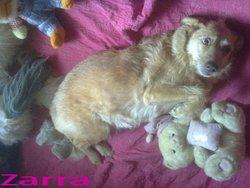 Zarra, chien Lévrier hongrois