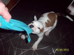 Zatox, chien American Staffordshire Terrier