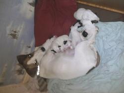 Zaya, chien Jack Russell Terrier