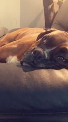 Zaya, chien Boxer