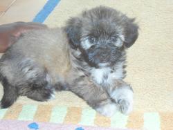 Zaya, chien Shih Tzu