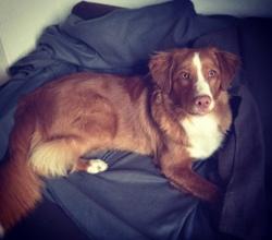 Zayn, chien Retriever de la Nouvelle-Écosse