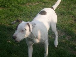 Zayna, chien Bulldog