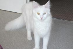 Zayne, chat Angora turc