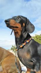 Zazie, chien Teckel
