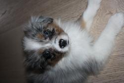 Zazie, chien Berger australien