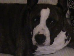 Zazou, chien American Staffordshire Terrier
