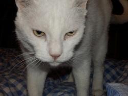 Zazou, chat Gouttière
