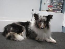 Zazou, chien Berger des Shetland