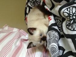 Zazou, chat Siamois