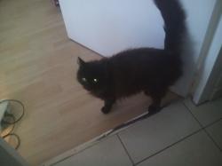 Zazou, chat Angora turc