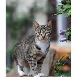 Zebrine, chat Européen