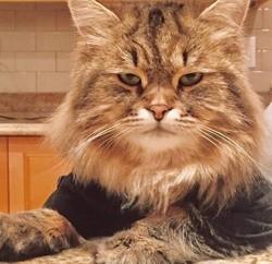 Zebu, chat Norvégien