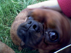 Zébulon, chien King Charles Spaniel