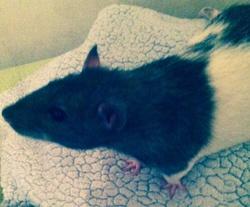 Zed, rongeur Rat