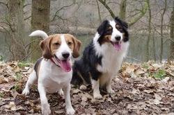 Zed, chien Beagle