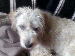 Zed, chien Petit Basset Griffon vendéen