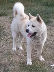 Zeep, chien Akita américain