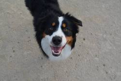 Zelda, chien Berger australien