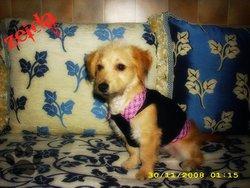 Zelda, chien Teckel