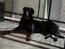 Zelda, chien Beauceron