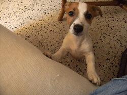 Zelda, chien Jack Russell Terrier