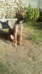 Zelda, chien Berger belge