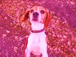 Zélie, chien Beagle