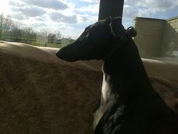 Zella , chien Lévrier espagnol