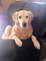Zelma, chien Golden Retriever