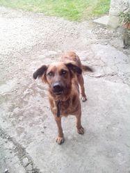 Zena, chien Leonberger