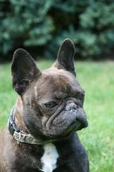 Zenair, chien Bouledogue français