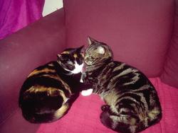Zep Et Mimi, chat Européen