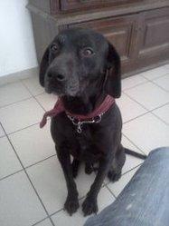 Zephir, chien Labrador Retriever