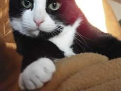 Zéphir, chat Européen
