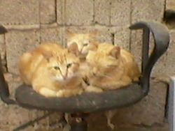 Zernia, chat