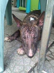 Zetla, chien Bull Terrier