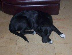 Zeus, chien Labrador Retriever
