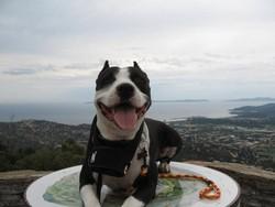 Zeus, chien American Staffordshire Terrier