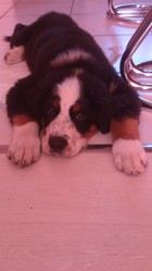 Zeus, chien Bouvier bernois