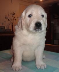 Zeus, chien Golden Retriever