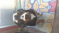 Zeus, chien Beagle