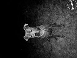 Zeus , chien Cane Corso