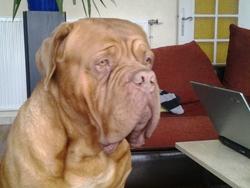 Zeus, chien Dogue de Bordeaux