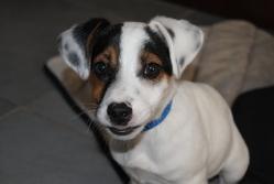 Zeus, chien Jack Russell Terrier