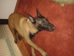 Zeus, chien Berger belge