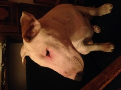 Zeus, chien Bull Terrier