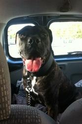 Zeus, chien Cane Corso