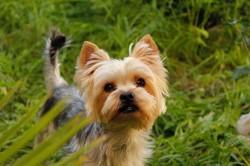 Zeus, chien Yorkshire Terrier